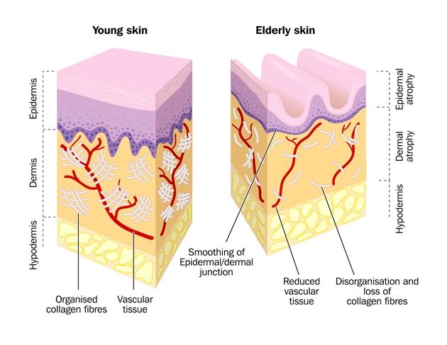 コラーゲンとは | Collagen Lift Paris